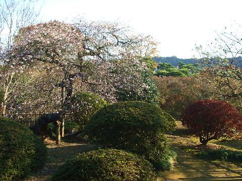 20081123 秋の偕楽園の桜