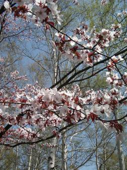桜×白樺01.jpg
