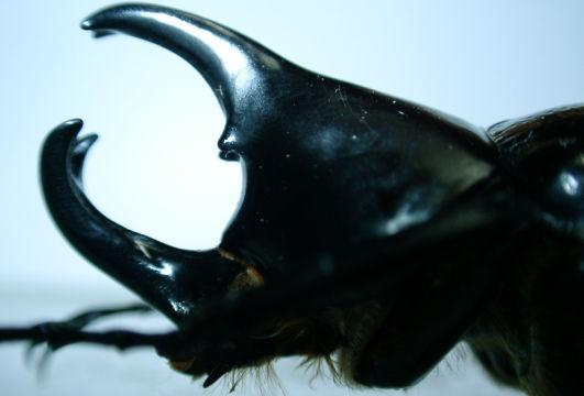 Xylotrupes florensis(Wetar島)拡大