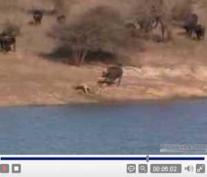 牛対ライオン対ワニ4.jpg