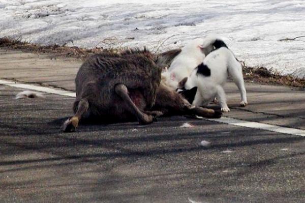 野犬 エゾシカの子どもが野犬に襲われている所に偶然遭遇しました。  自然界の厳しさを実感した出来
