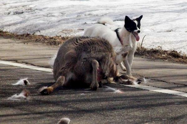 野犬 自然界の厳しさを実感した出来事|厳選!北海道グルメ かに匠 マツケンのつ...