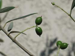 olive no mi