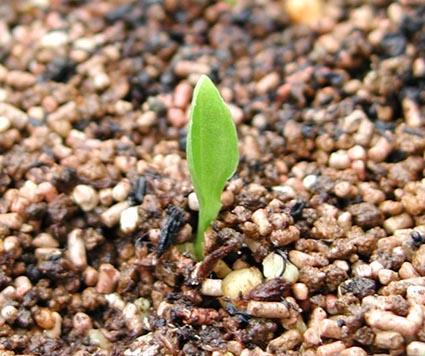 ギボウシの発芽