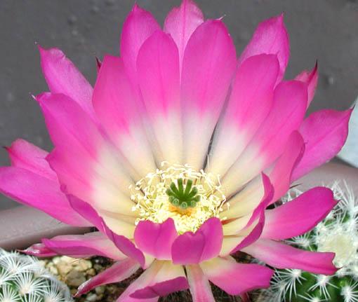 フォベアヌス開花