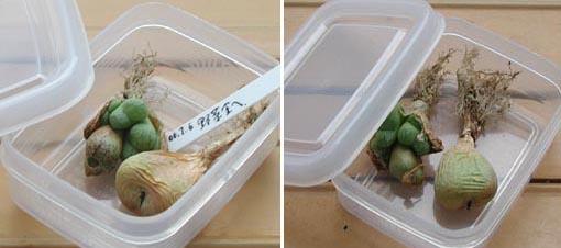 野菜室のコノフィツム1