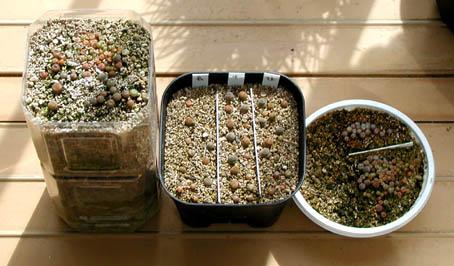 リトの植替え実験3