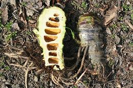 ドクゼリ 根茎には筍状の節があり、節間は中空