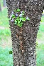 ヤマザクラの木にタチツボスミレ
