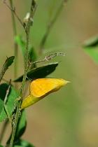 マキエハギに付いているキチョウの蛹