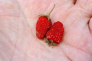 ノウゴウイチゴ