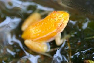 黄金色のカエル