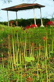 羽黒山公園の一部には花茎も伸び、花が咲き出しているのもありました