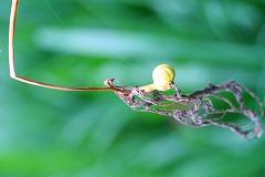 ヒガンバナの種子