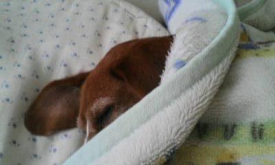 ココの昼寝2 毛布めくってみると.jpg