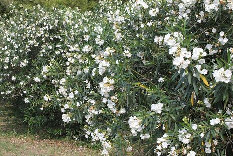 110729_09キョウチクトウ(夾竹桃)の花 花言葉~油断大敵(9%)