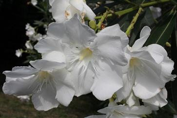 110729_10キョウチクトウ(夾竹桃)の花 花言葉~油断大敵(7%)
