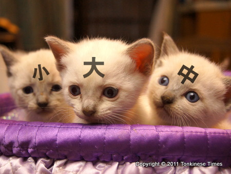 Here we are Tonkinese triplet brothers !