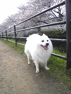 09.04.05 東川桜2.jpg