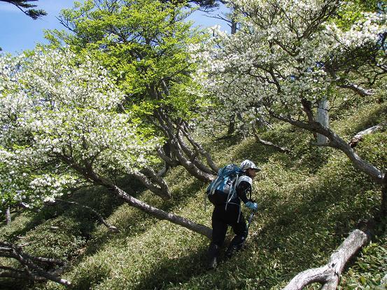シロヤシオの斜面