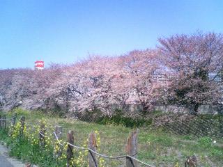「桜」.JPG