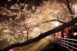 茨城県三の丸庁舎・お堀の桜のライトアップ.jpg