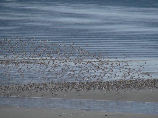 Flying shore birds