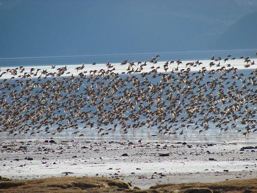 Big group of shore birds