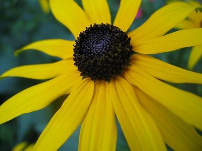 Dark-eye sunflower