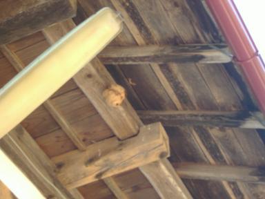 スズメバチの巣新築中