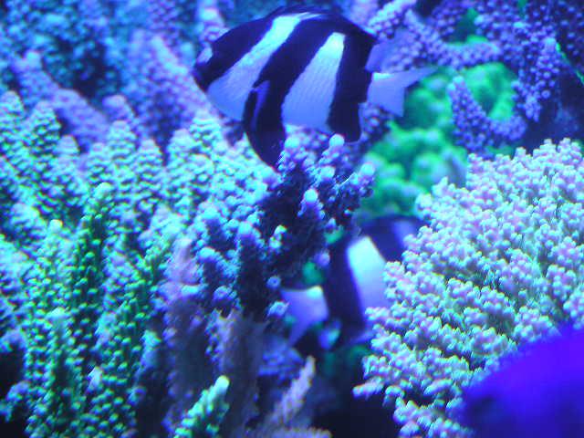 2008.1.28 白化珊瑚の上にエダ打ち珊瑚配置