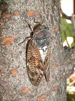 250px-Graptopsaltria_nigrofuscata1.jpg