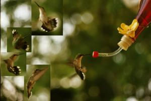 800px-Composite-ruby-throated-hummingbird_300x200.jpg