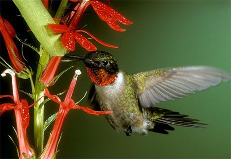 ruby-throat-hummingbird.jpg