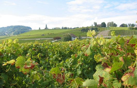 スイスレマン湖畔のブドウ畑