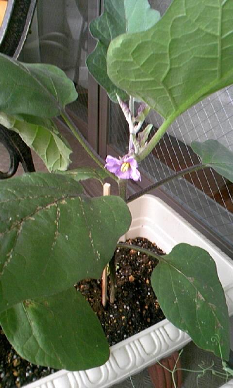 なすび の花