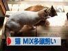 にほんブログ村 猫ブログ 猫 MIX多頭飼い