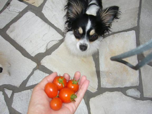 トマト狙うつばさ.JPG