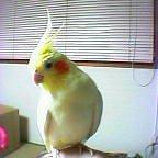 我が家の愛鳥