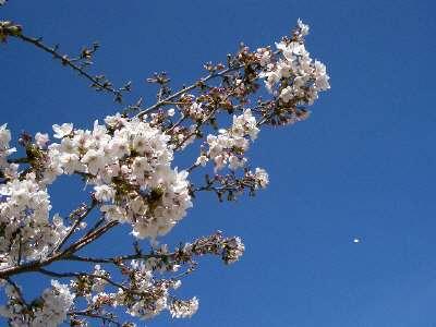 はばたきのはしの桜5