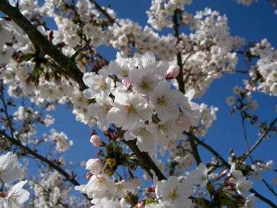 はばたきのはしの桜4