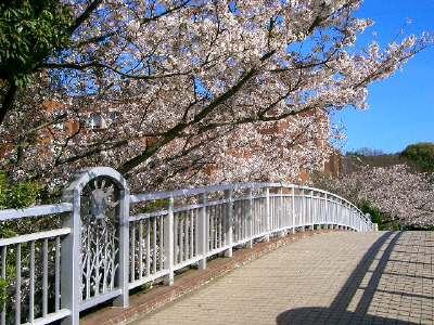 はばたきのはしの桜1