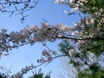 はばたきのはしの桜3