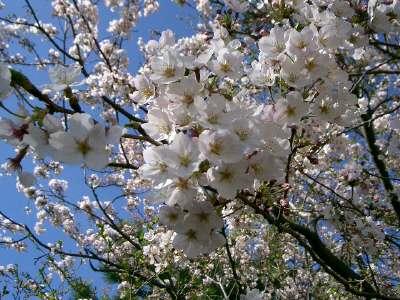 はばたきのはしの桜2