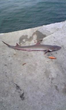2007/6/20 サメ2