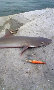 2007/6/20 サメ