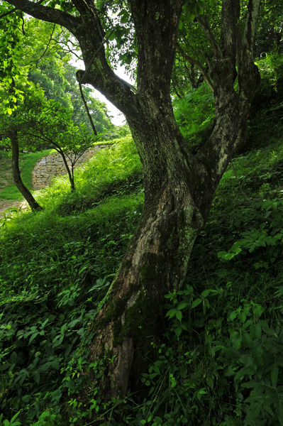 小石垣の柿木
