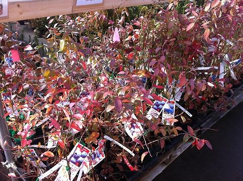 ラビットアイ系はまだ葉を残しています。