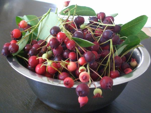 小さな赤い果実が楽しめます。