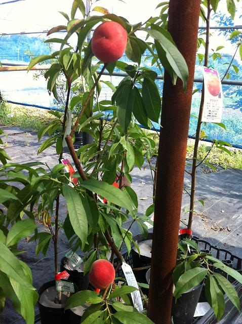 赤く色づく桃です。